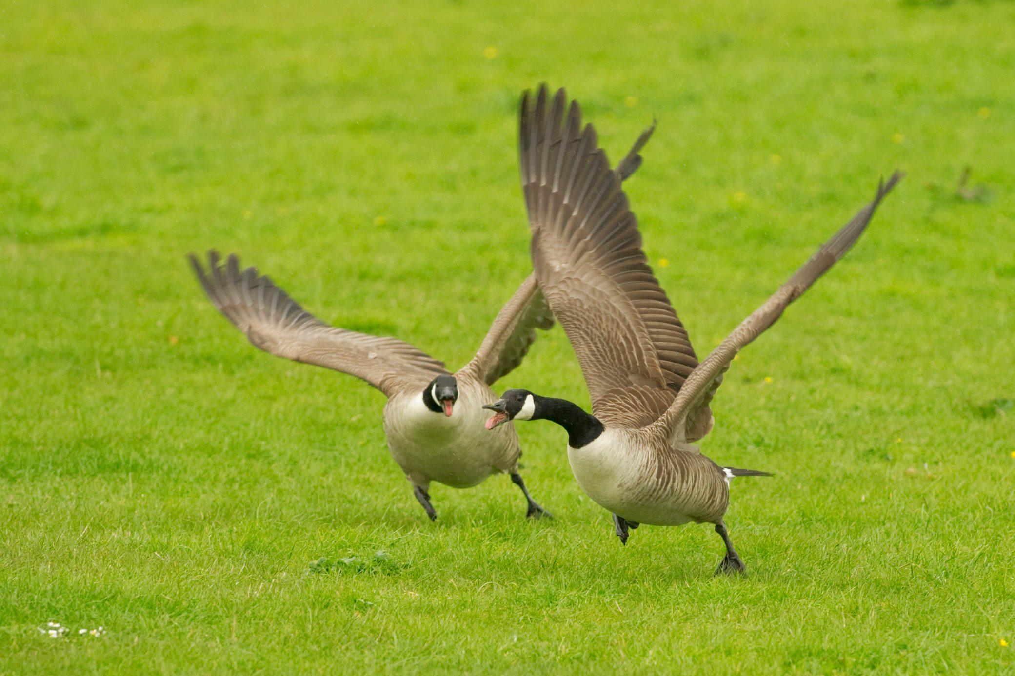 Canada Goose (Branta canadensis) attacking rival