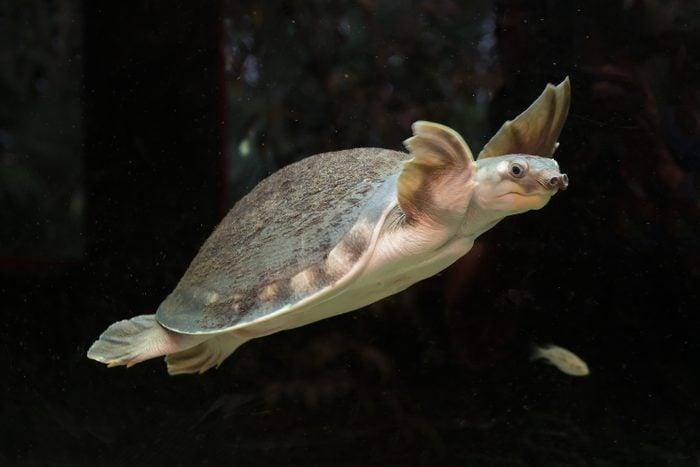 Pig-nosed turtle, Carettochelys insculpta