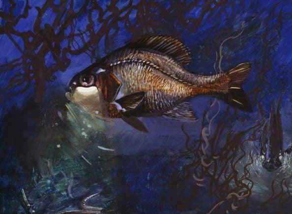 Yelight Fish or One-fin Flashlightfish...