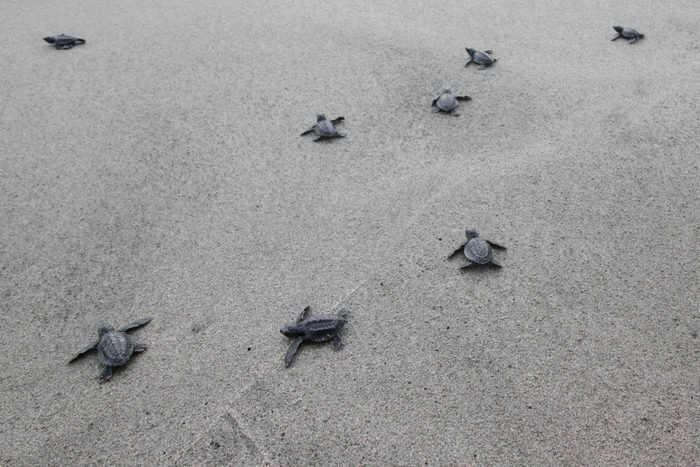 Sea Hatchlings Release Program In Aceh, Indonesia