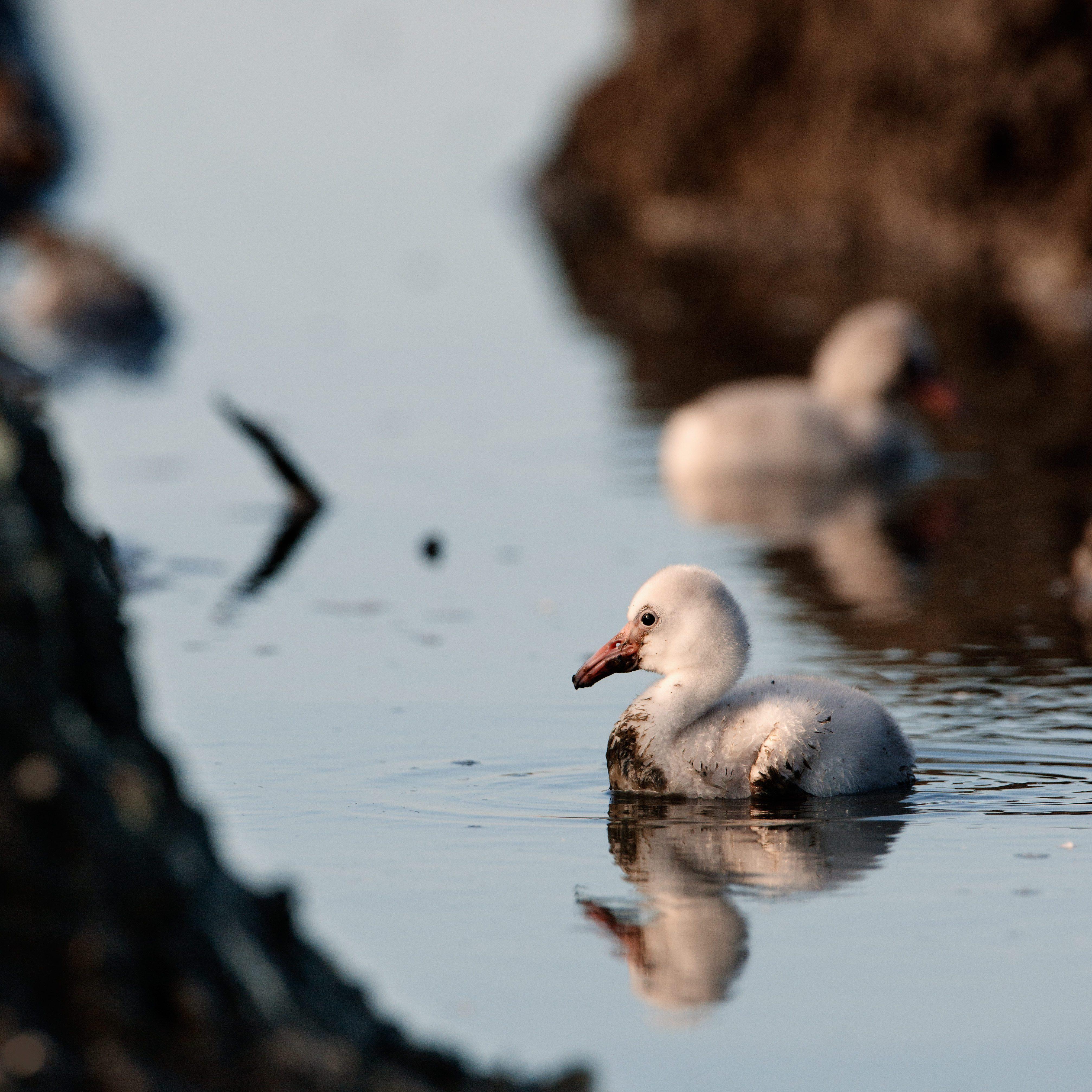 Little newborn flamingos