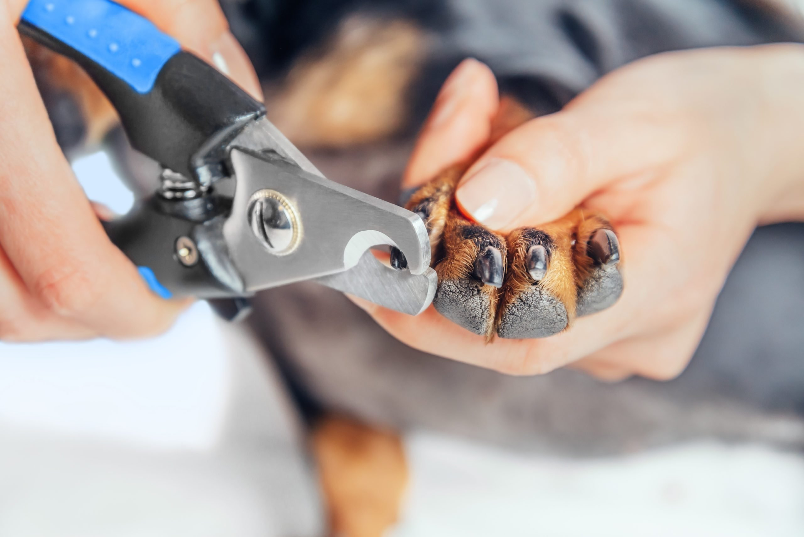 Woman is cutting nails of dog
