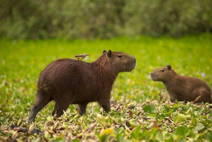 Capybara with Tyrant Hitchhiker