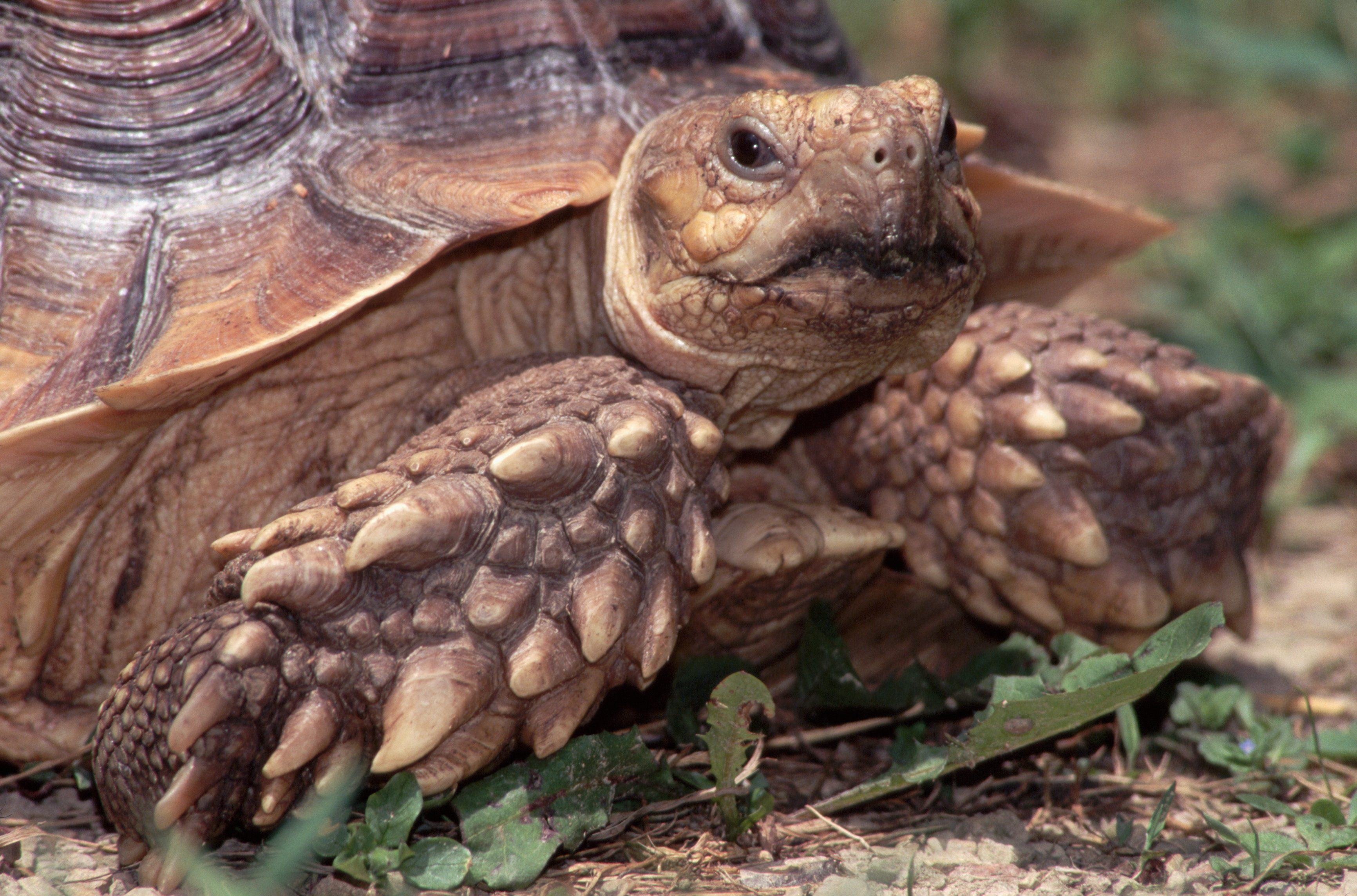 Head and Front Legs of an African Spurred Tortoise