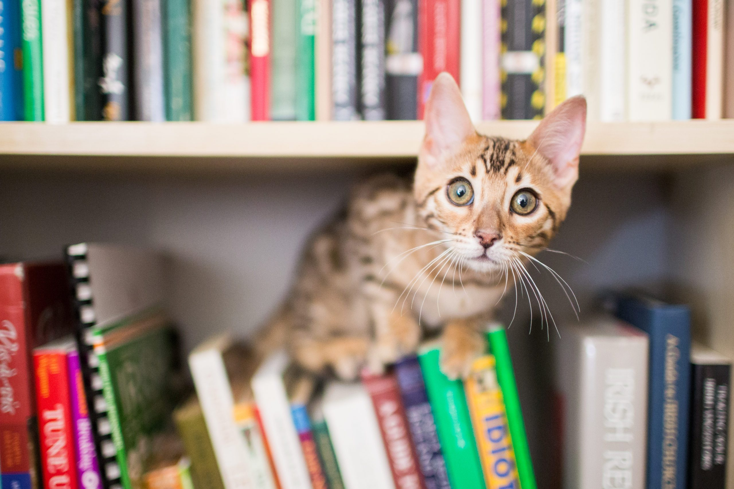 Curious Bengal kitten on bookshelf with books