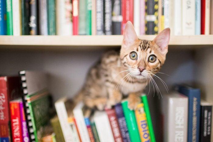 Curious Bengal kitten on bookshelf with books