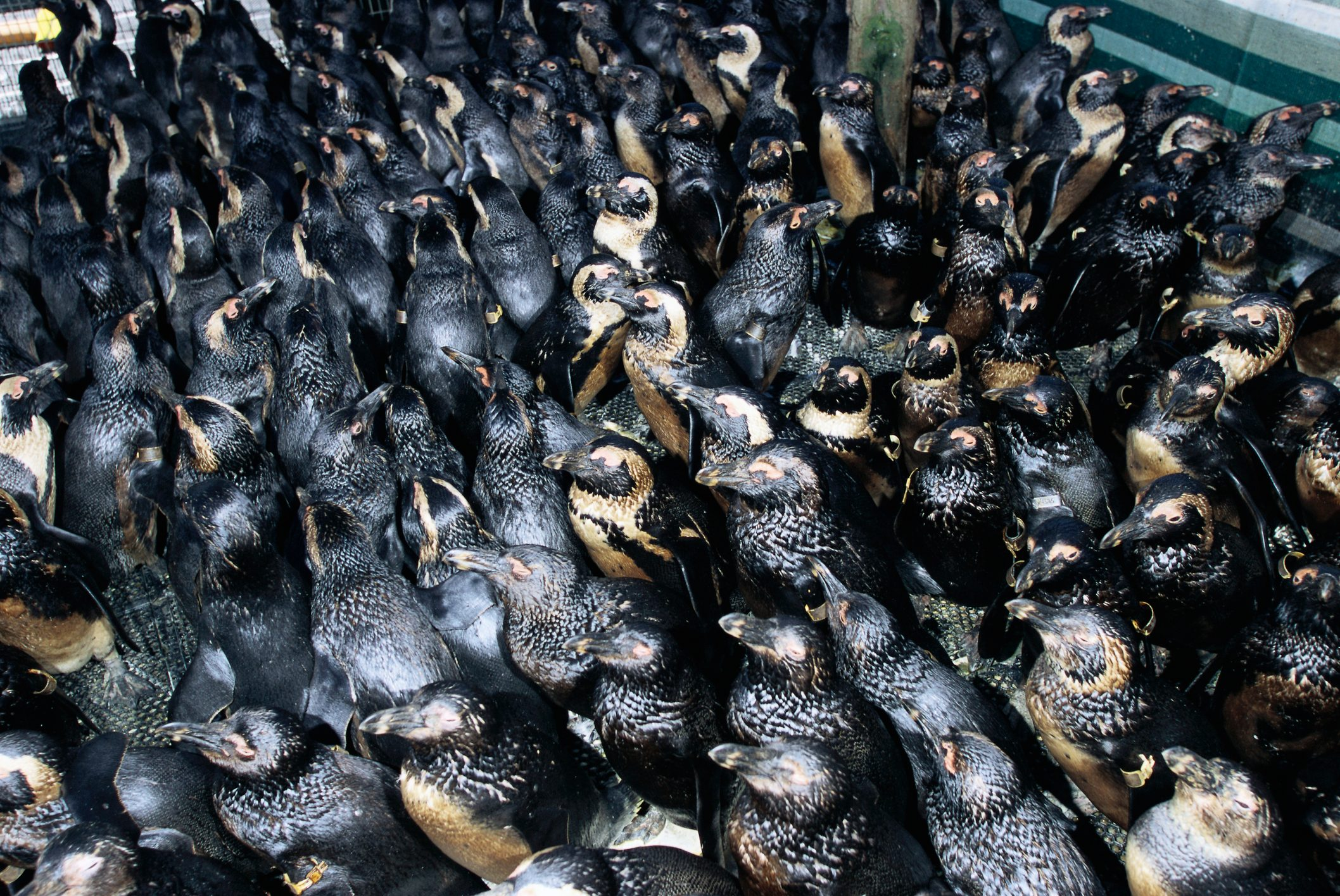 Jackass Penguins Covered in Oil