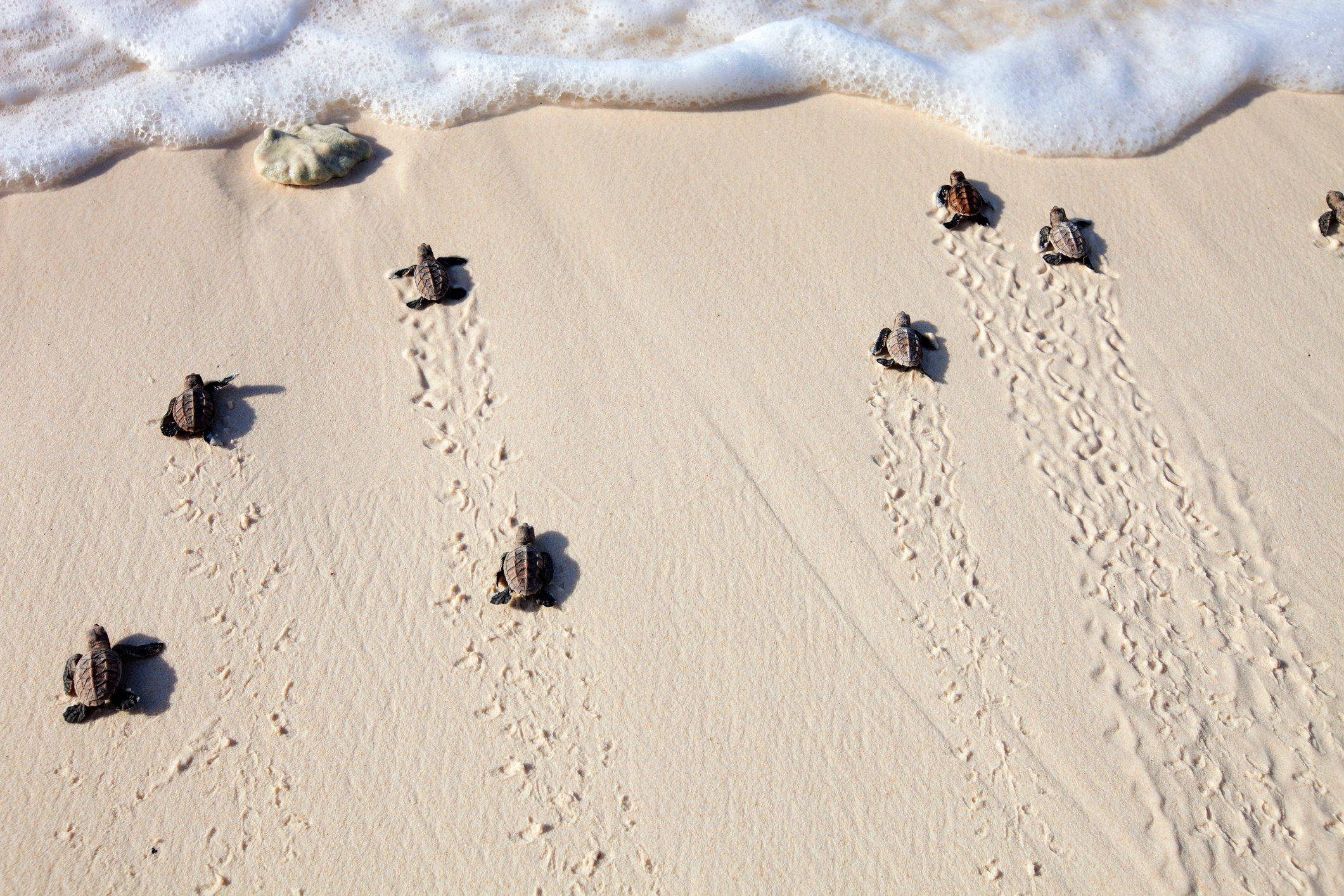 Hawksbill turtle (Eretmochelys imbricata). Endangered species.Seychelles