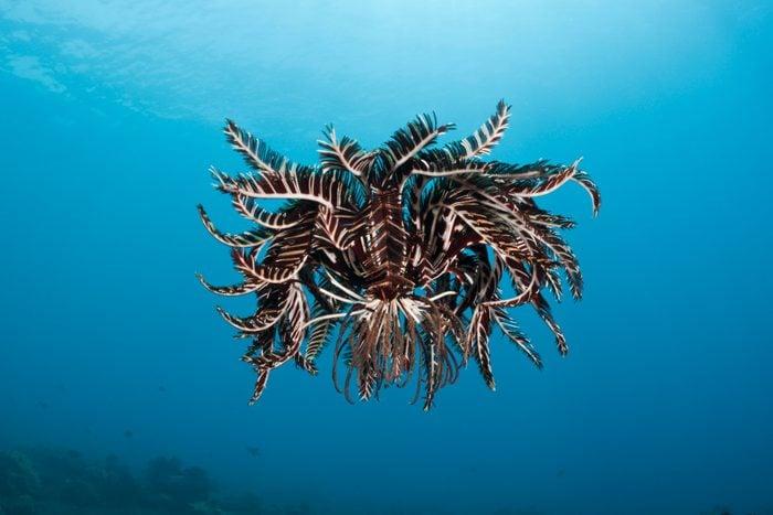 Crinoid hover over Reef, Comantheria sp., Alam Batu, Bali, Indonesia