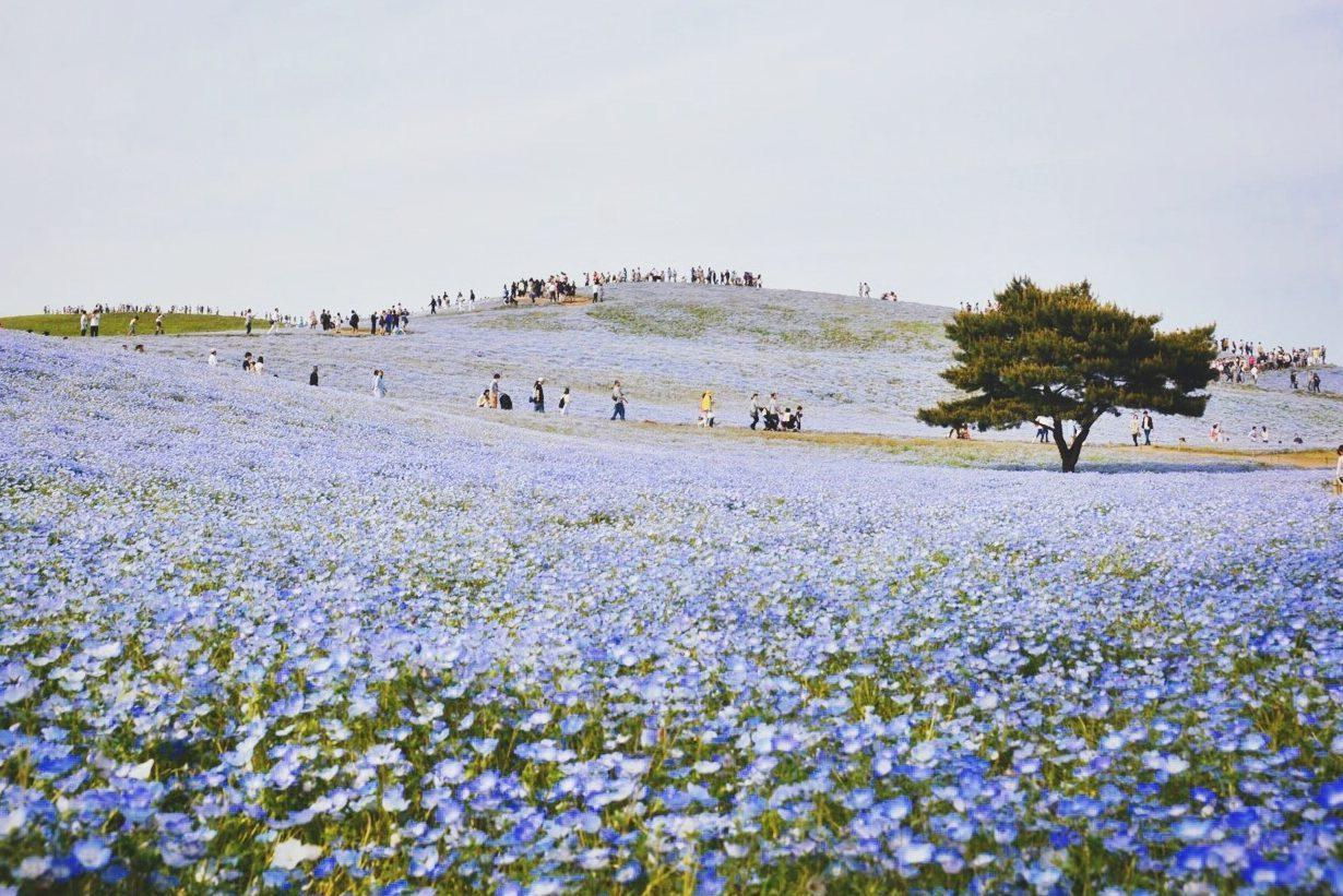 Flowers Blooming At Hitachi Seaside Park Against Sky