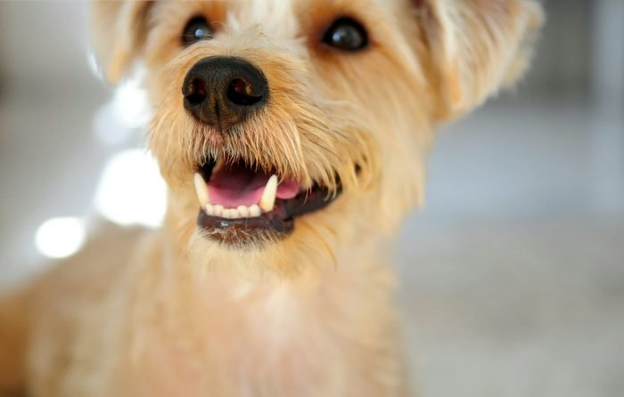 Close-Up Of Terrier At Home