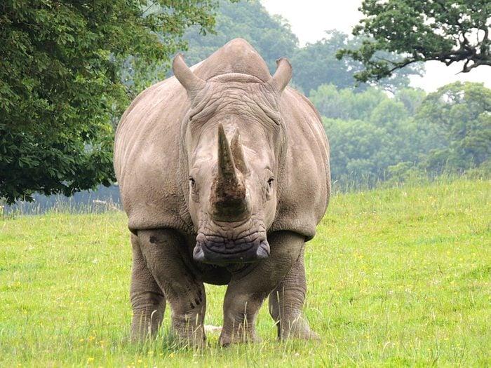 Rhinoceros On Grassy Field