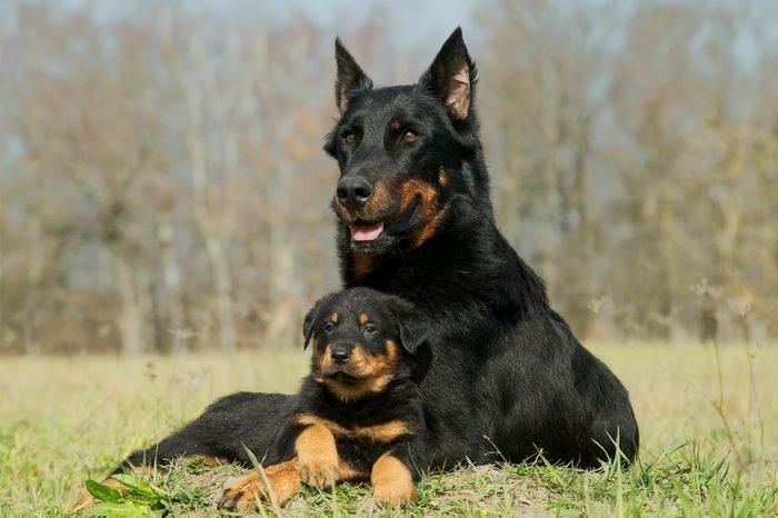 Beauceron, Canis familiaris