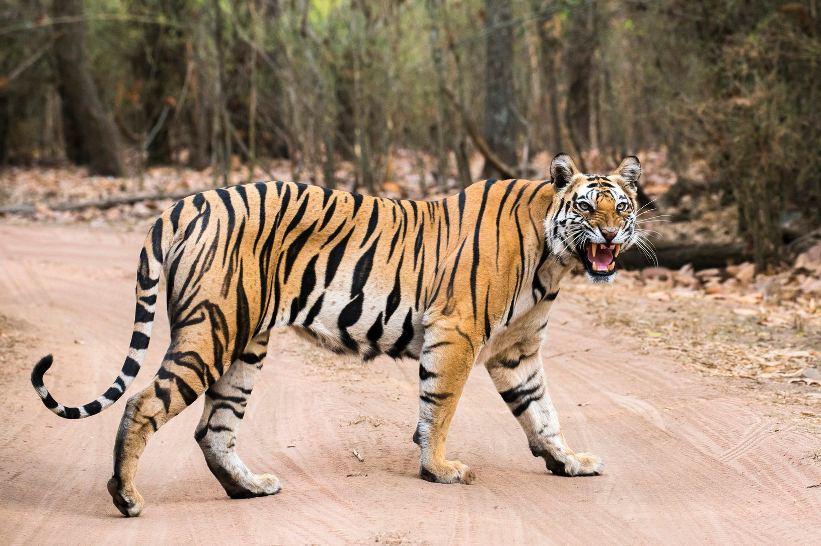 Bengal tigress crossing track in sal forest