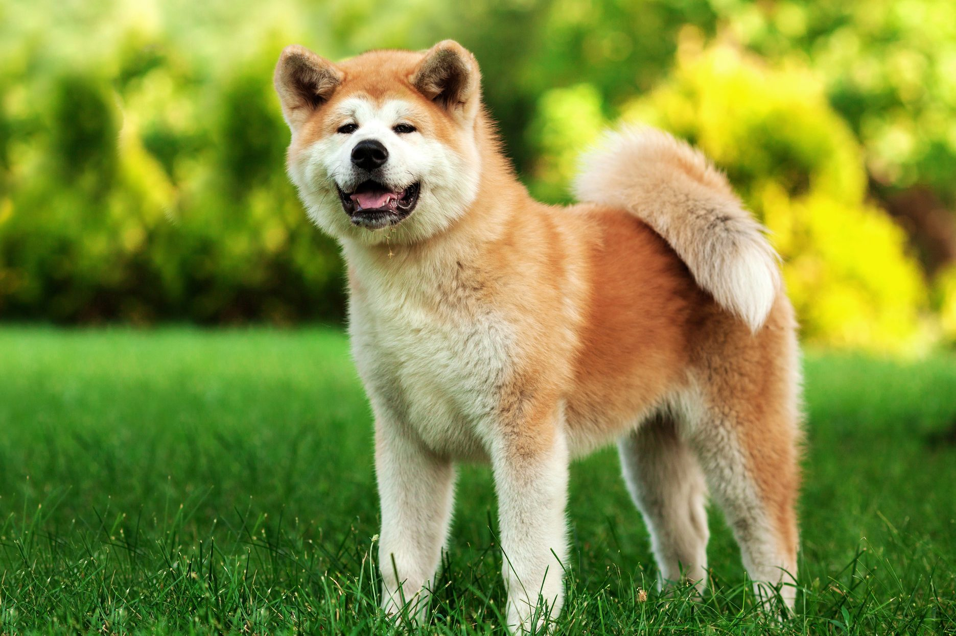 Young beautiful akita inu dog outdoors on summer day