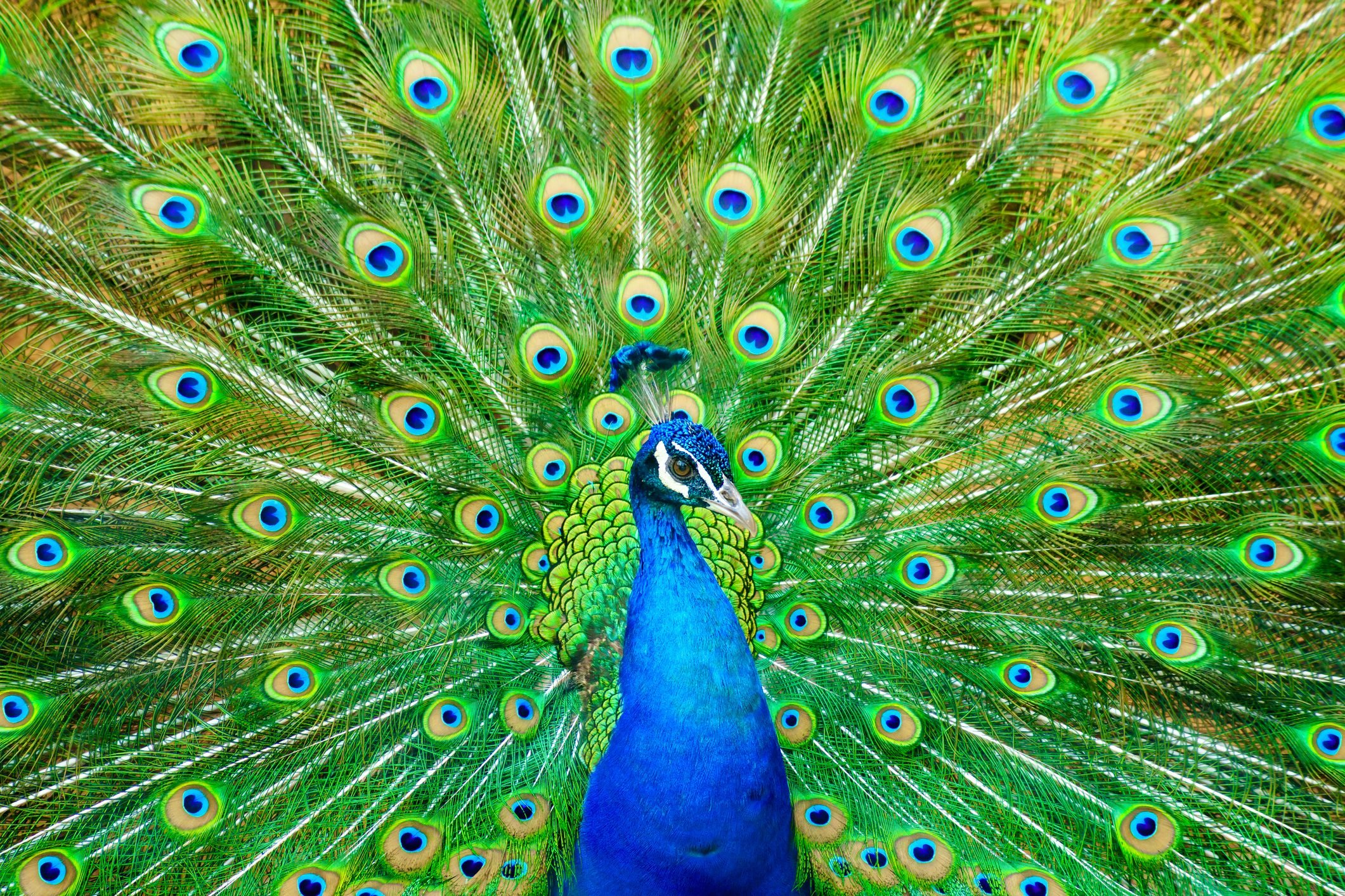 Close-Up Of Peacock With Fanned Out Feathers