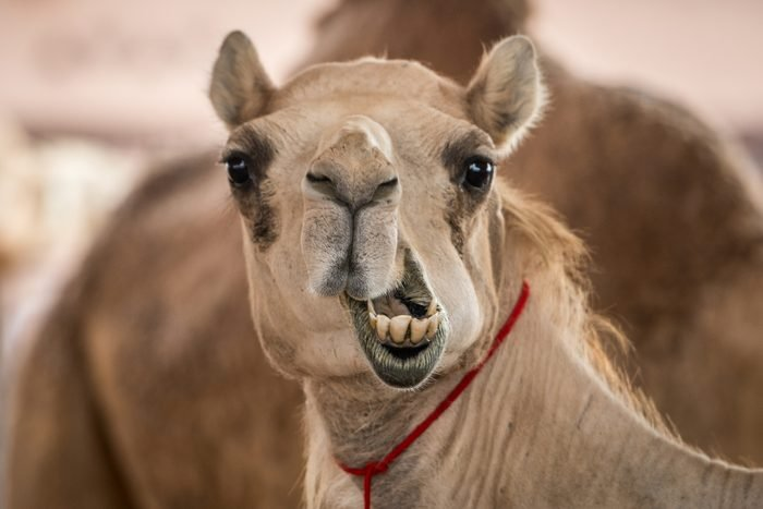 Silly camel face