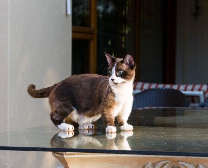Munchkin cat relaxing in the garden, Johannesburg.