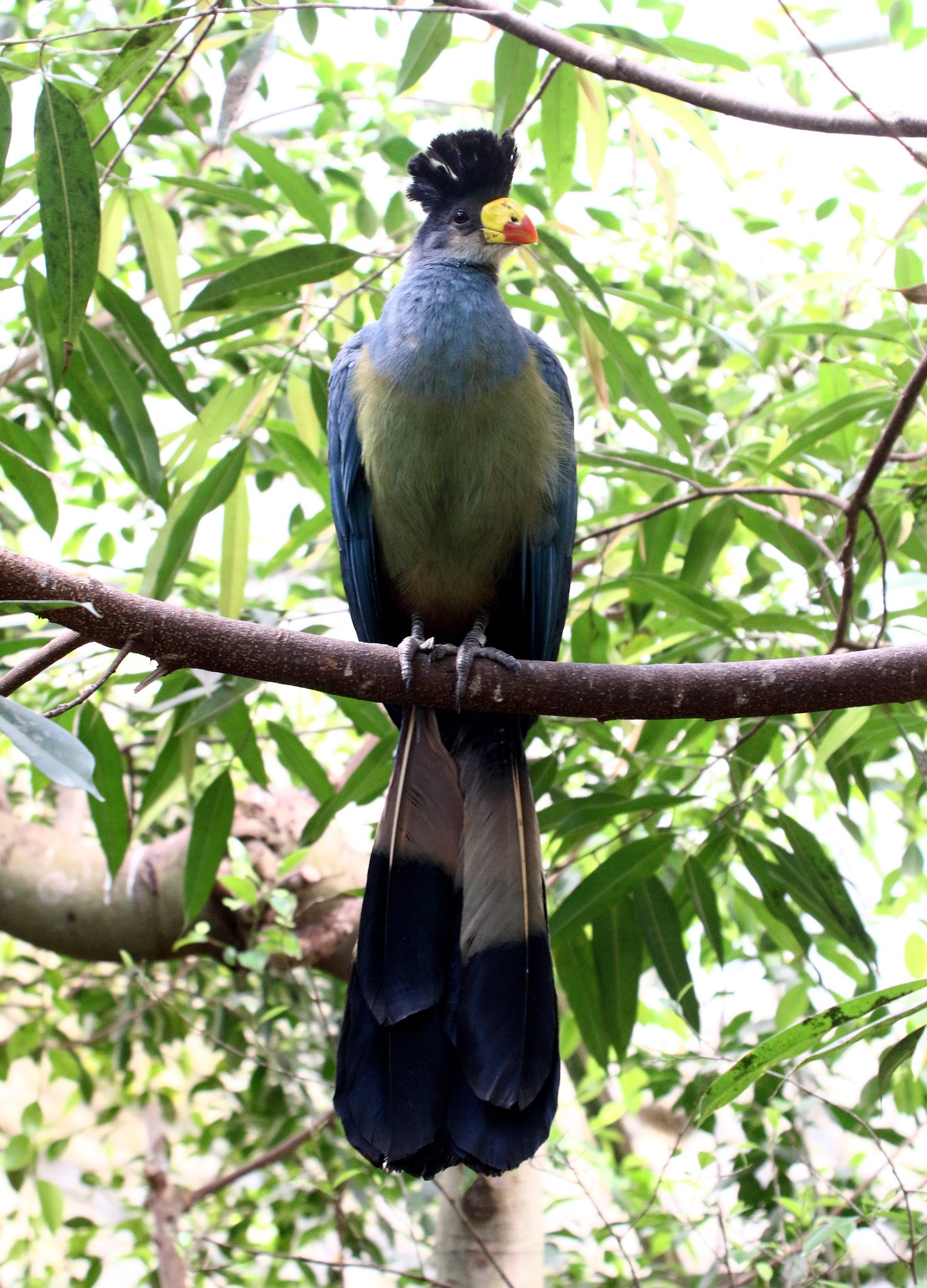 African Great Blue Turaco