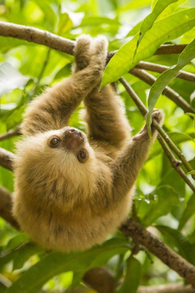 Costa Rica, baby sloth.