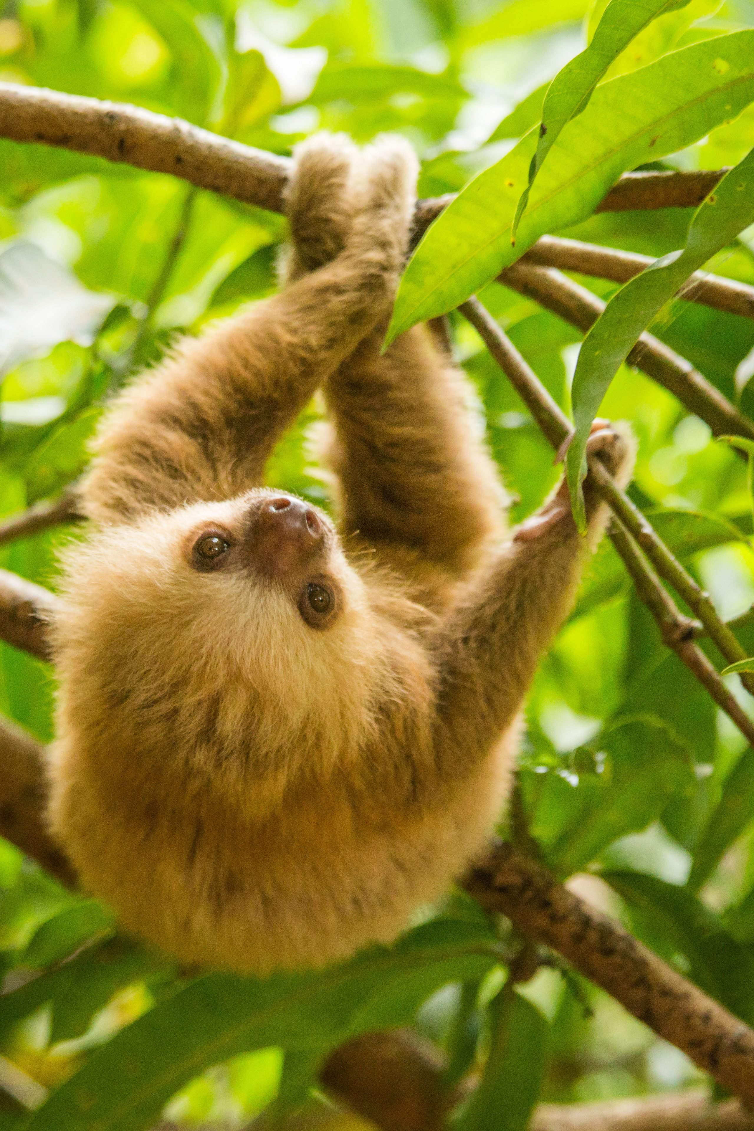 Costa Rica, baby sloth.