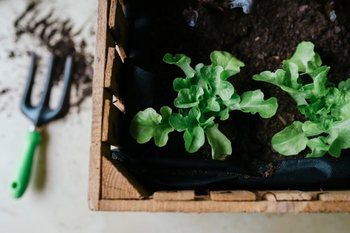 Planting lettuce in a wooden box