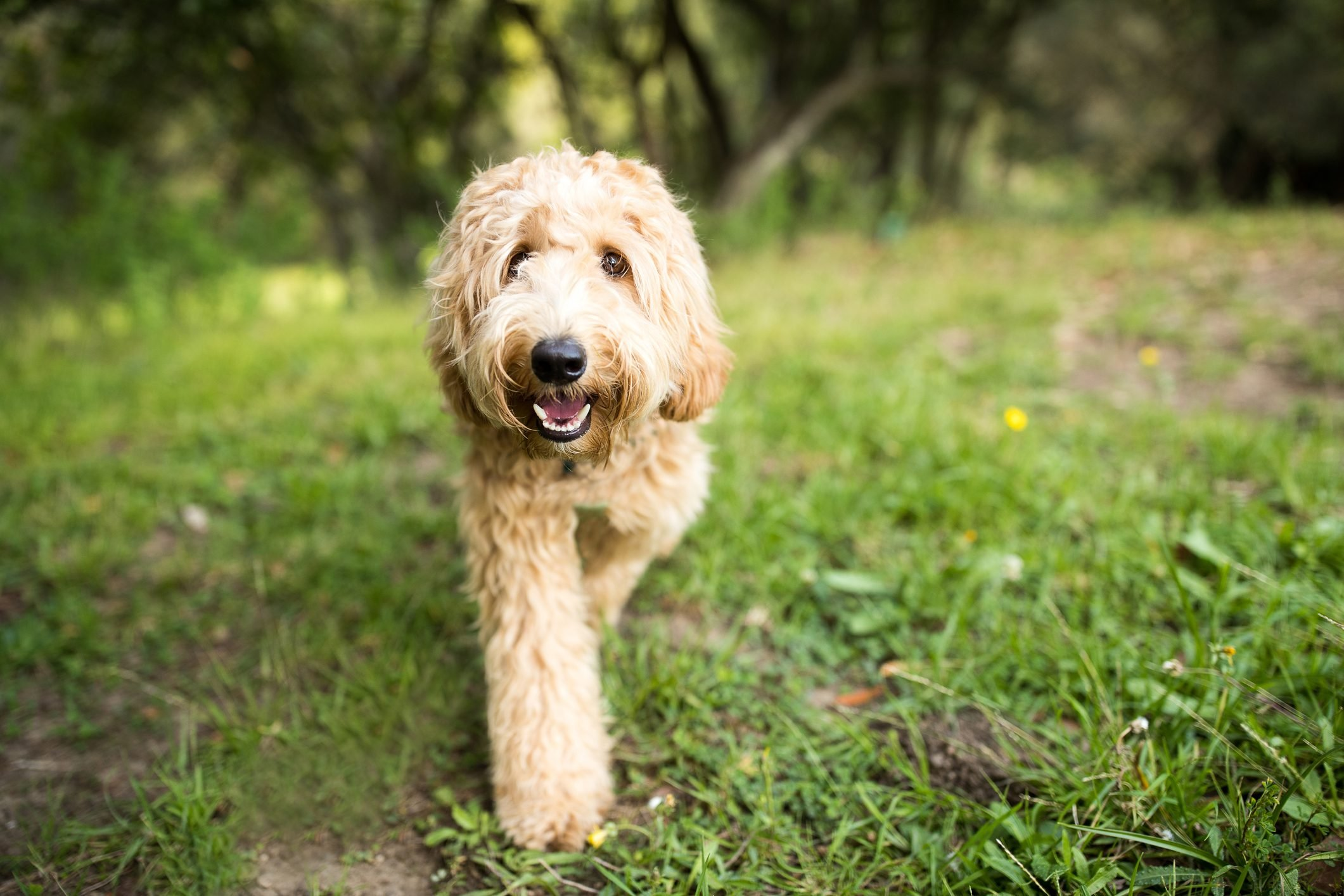 Happy Labradoodle Dog Walking Outdoors