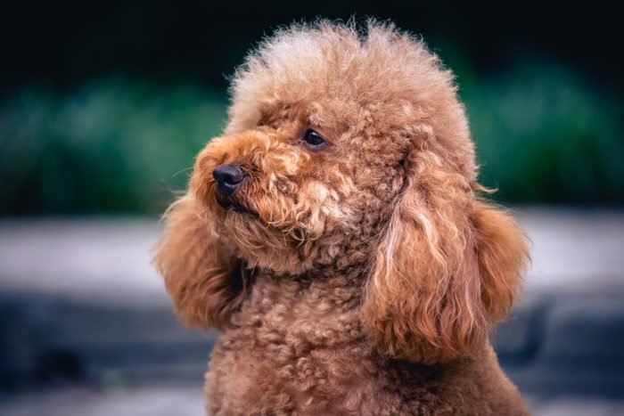 close up portrait of a cute brown Poodle dog .