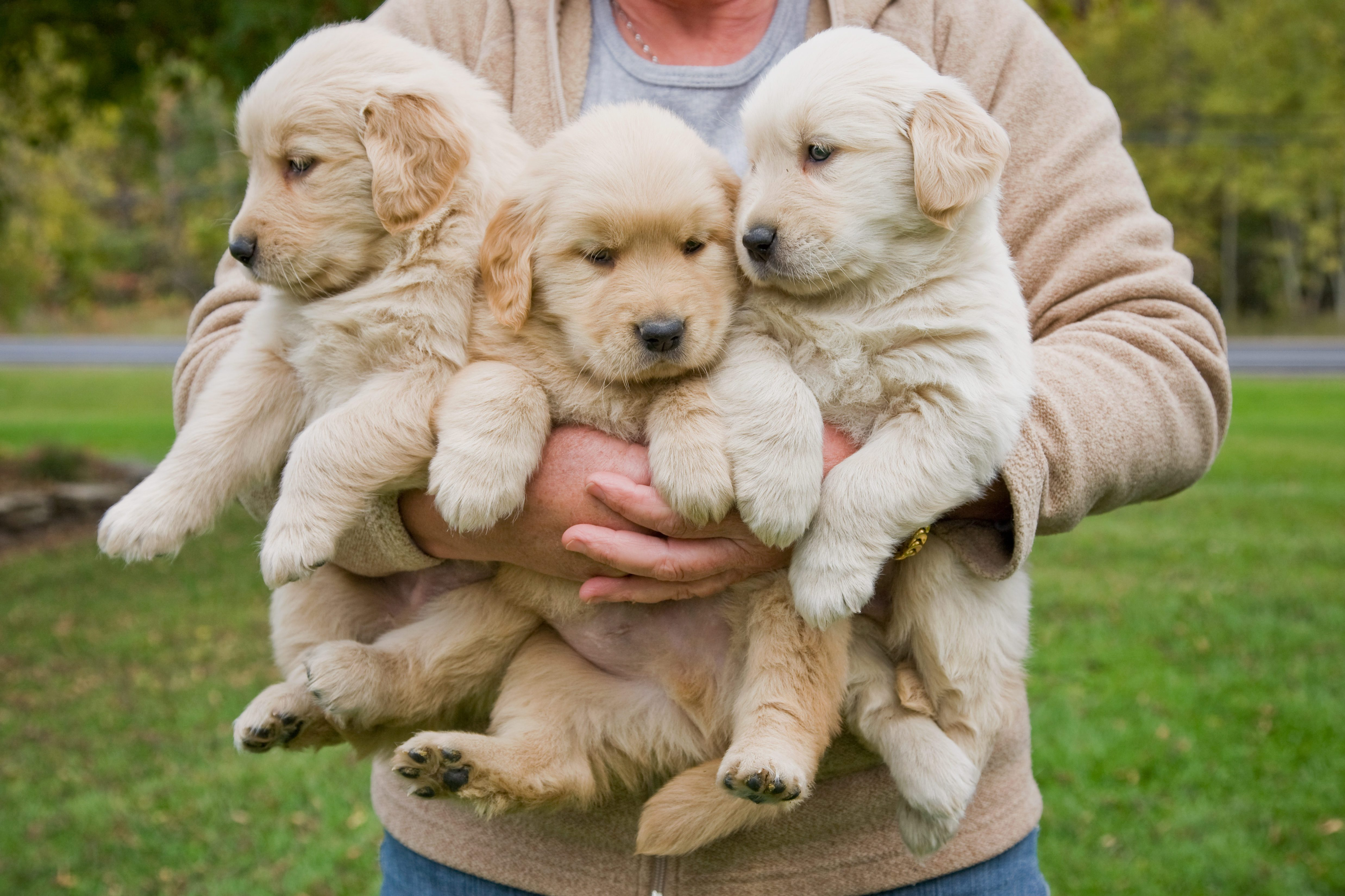 Woman holding 3 male golden retriever puppies