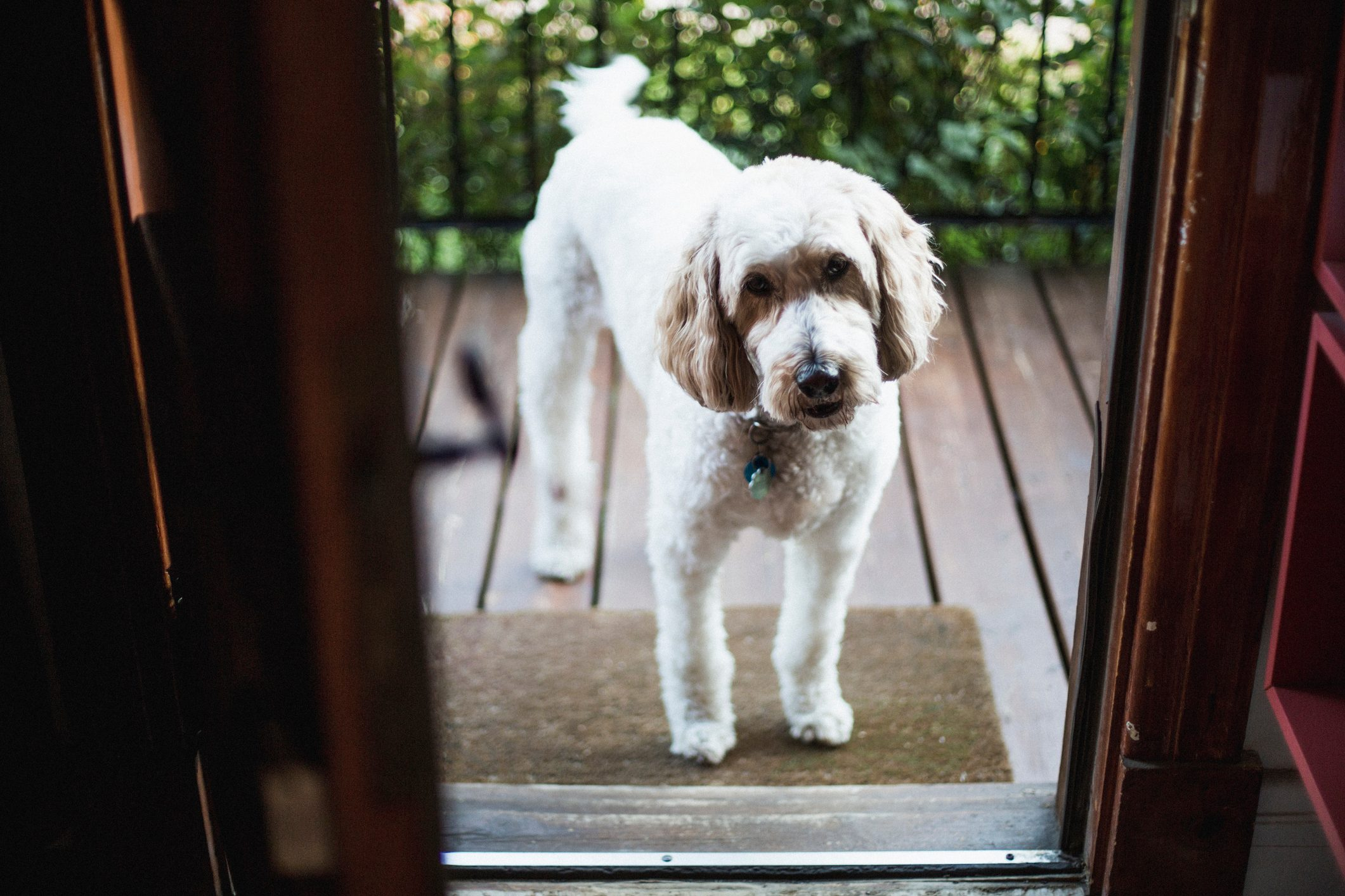 Goldendoodle dog infront of an open front door
