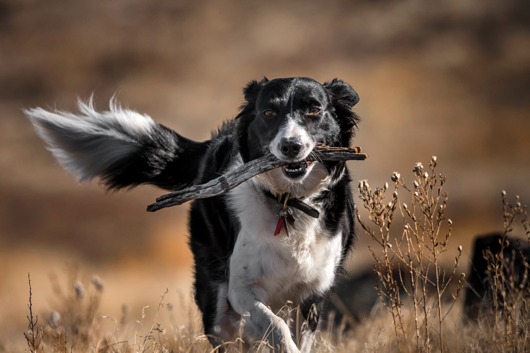 Border Collie walking through brown field with stick