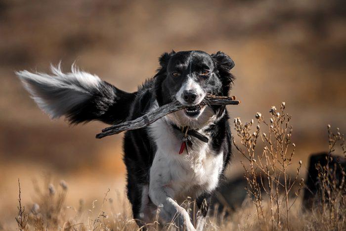 Border Collie walking through brown field with stick
