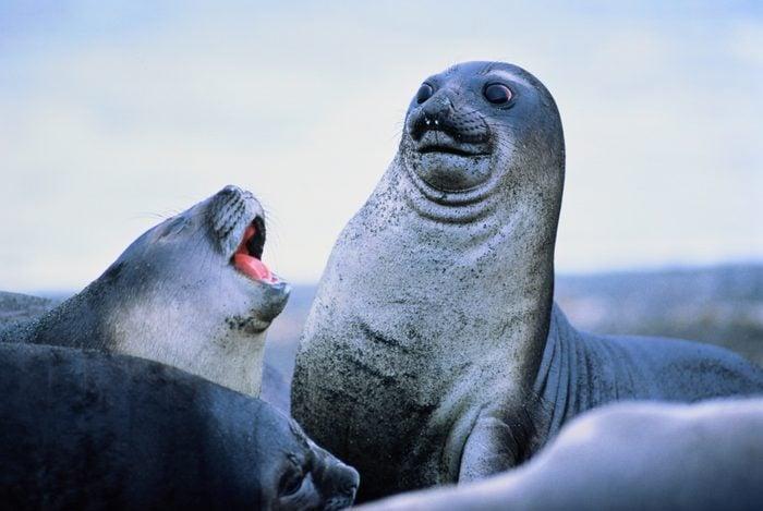 Young elephant seals (Mirounga leonina)Antarctica