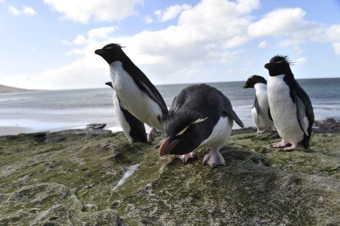 Rockhopper Penguin Residents Falklands Islands