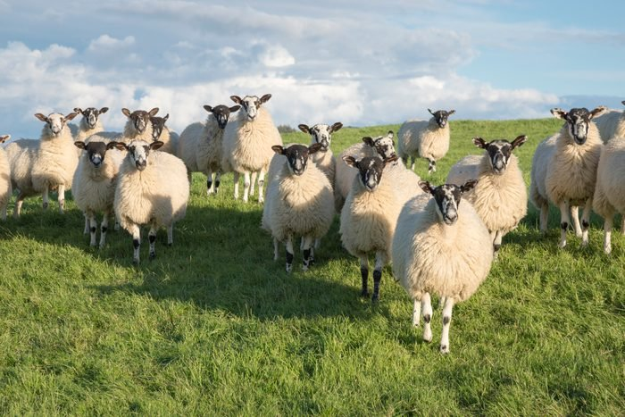 Group of Swaledale sheep in a field in North Yorkshire.