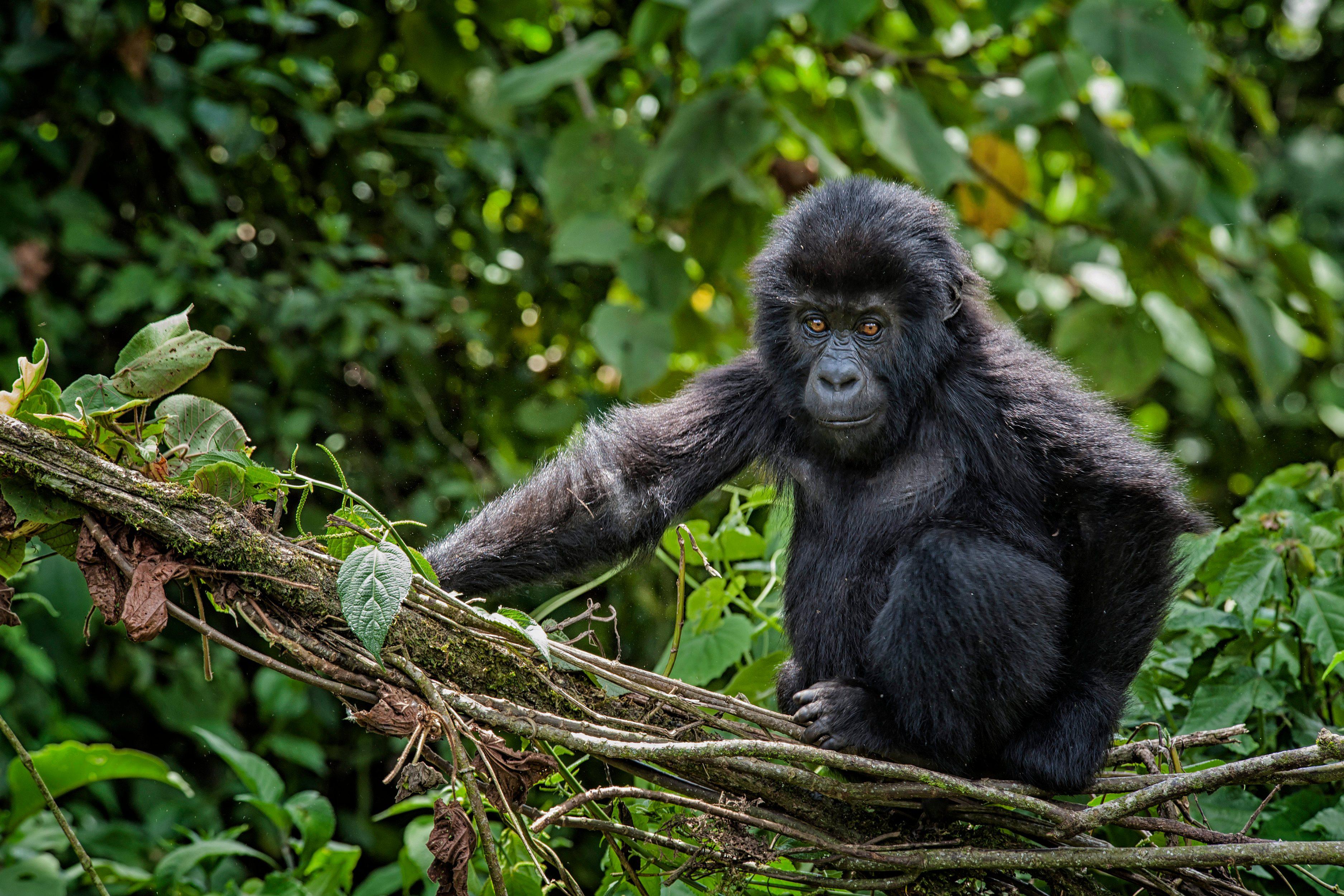 Baby Eastern Lowland Gorilla, wildlife shot, Congo
