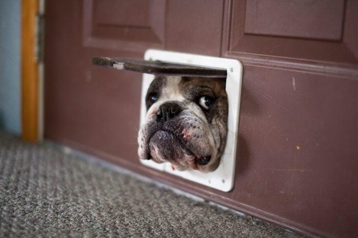 Bulldog trying to get through a cat door