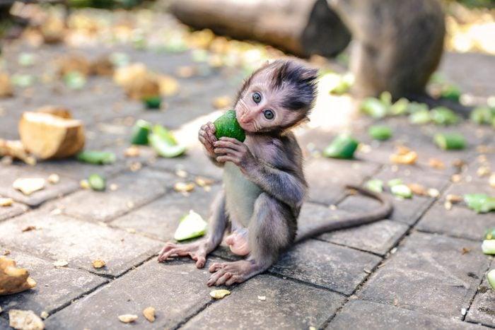 Cute baby monkey eating vegetable