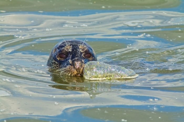 Harbor seal and plastic water bottle