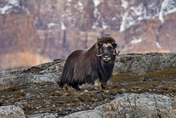 Muskox (Ovibos moschatus) standing in mountain landscape, Blomsterbugten, Ymers, Kejser Franz Joseph Fjord, Northeast Greenland National Park, Greenland