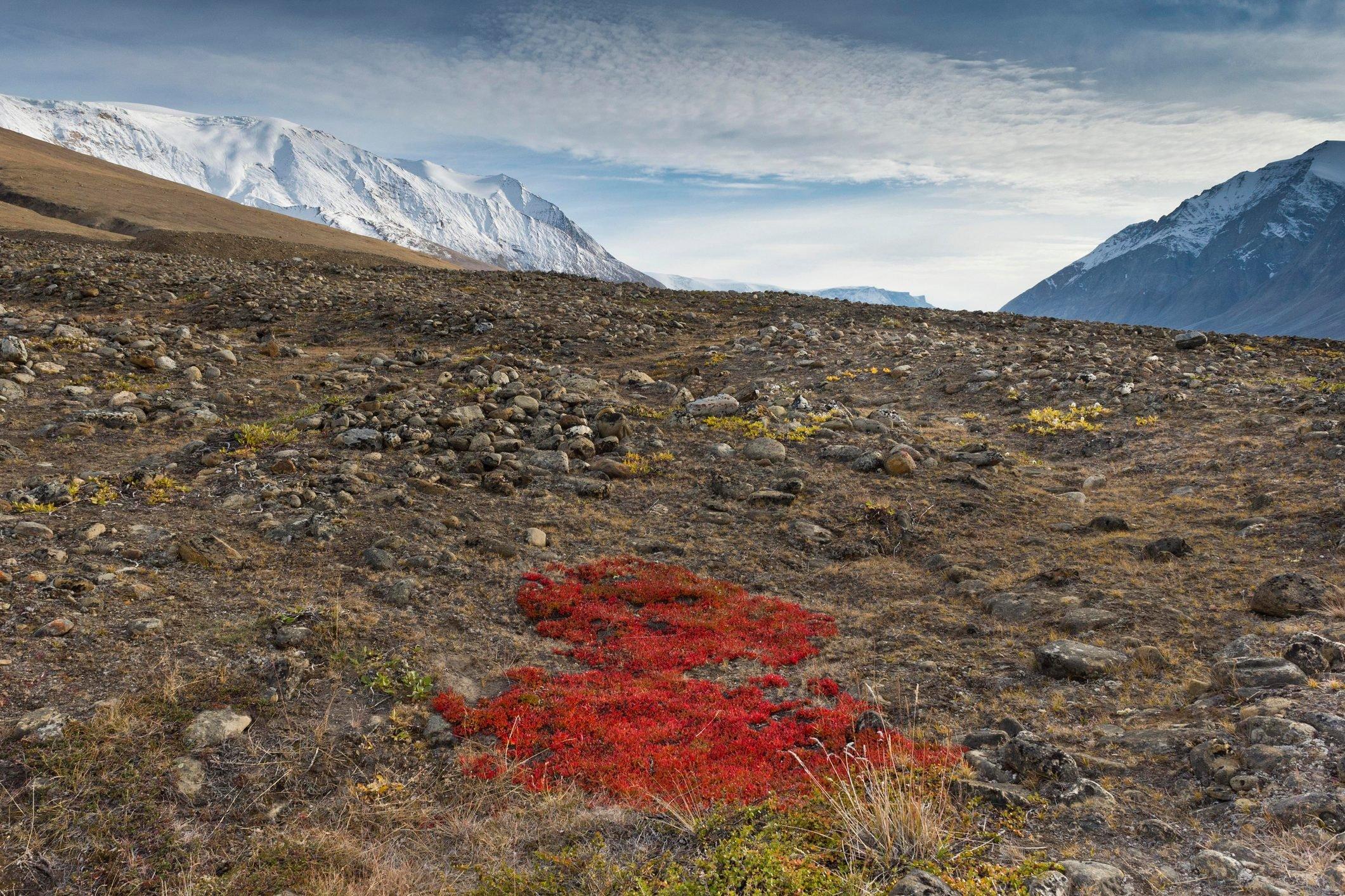 Autumn colored alpine or mountain bearberry (Arctostaphylos alpinus), Paradisdal, Kjerulf Fjord, branch of the Kaiser Franz Josef Fjord, Northeast Greenland National Park, Greenland