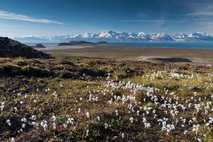Cotton Grass (Eriophorum sp.), mountains, Holmbugt, Kong Oscar Fjord, Northeast Greenland National Park, Greenland
