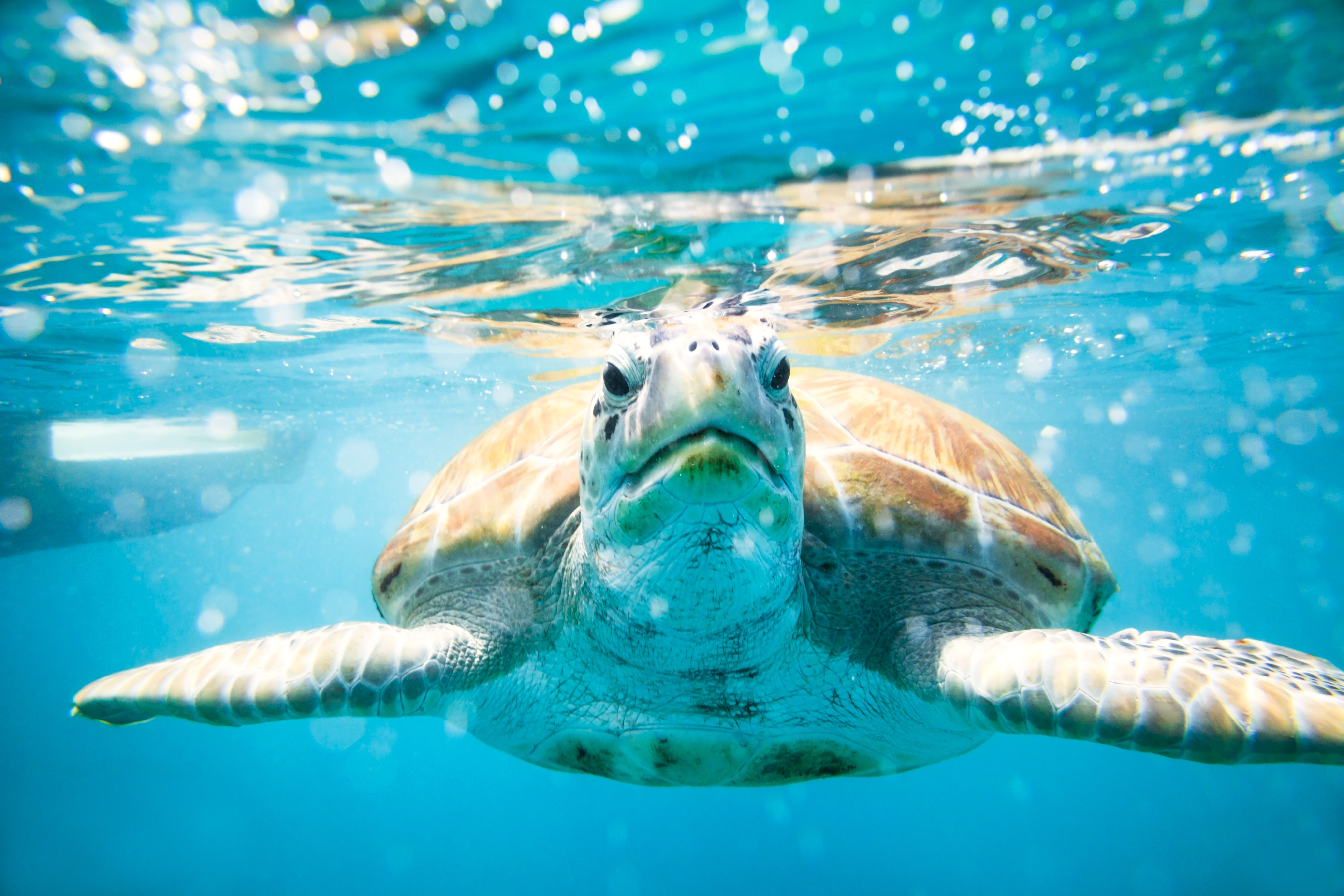 Close up of sea turtle in the Caribbean sea