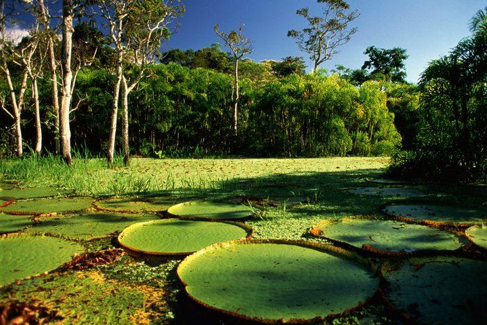 Brazil,Amazon,Giant Victoria Regia Lilypads