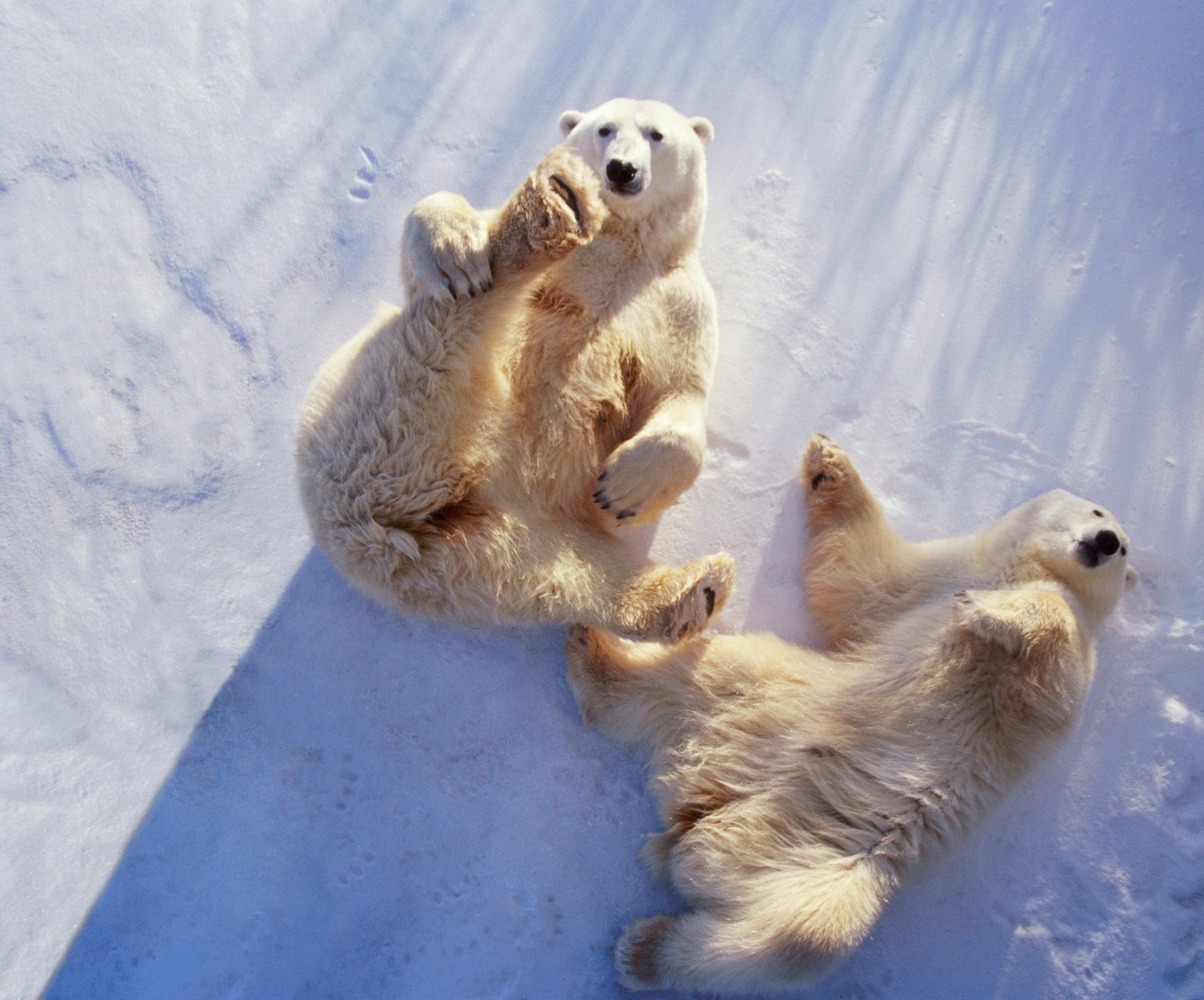 Polar bears (Ursus maritimus) lying on backs, Manitoba, Canada
