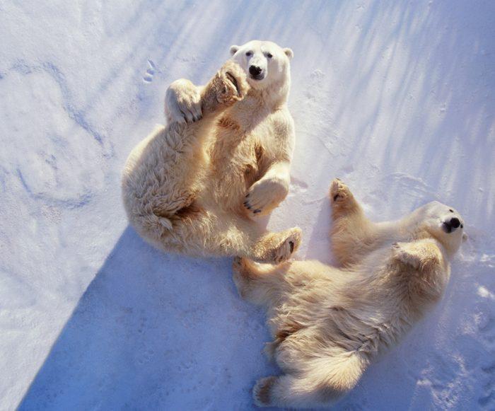 Polar bears (Ursus maritimus) lying on backs, Manitoba, Canada