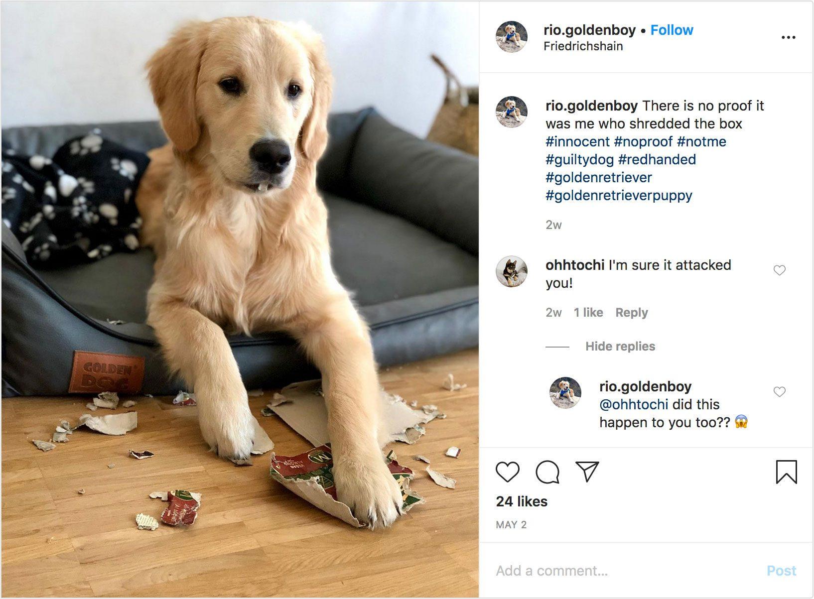rio.goldenboy on instagram. guilty dog.