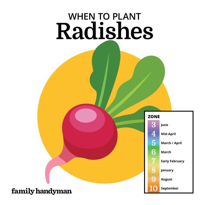 when to plant radishes. chart and illustration.