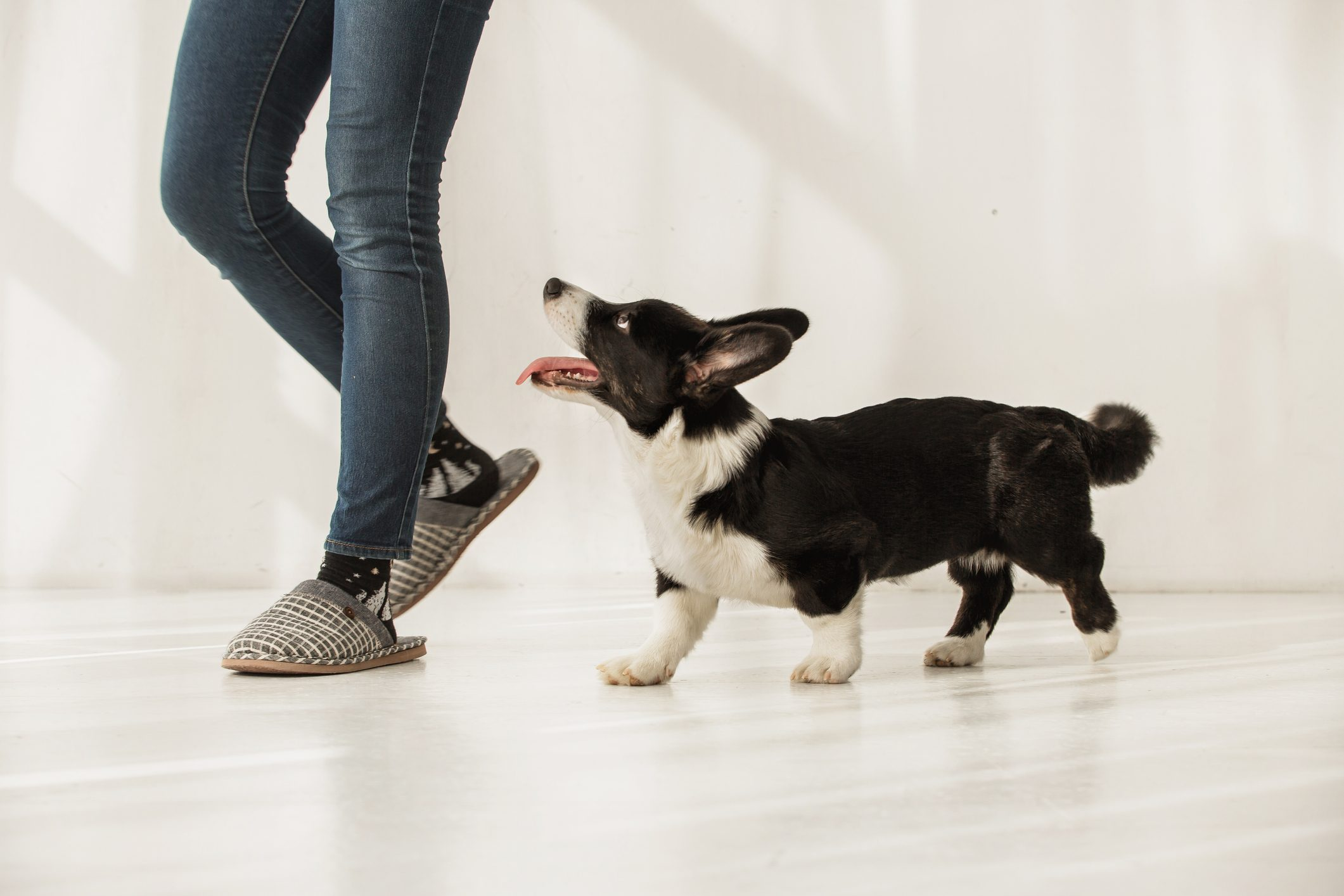 Black and white corgi following woman's legs indoors