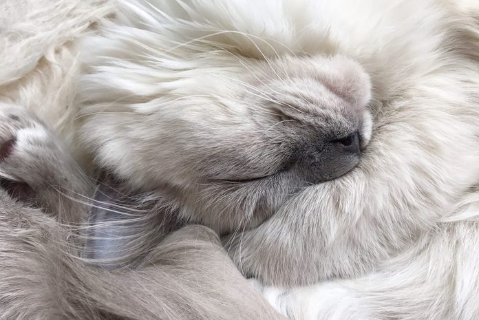 Close up of a Ragdoll Kitten's Whiskers and Paws as He Sleeps, Blue Colorpoint